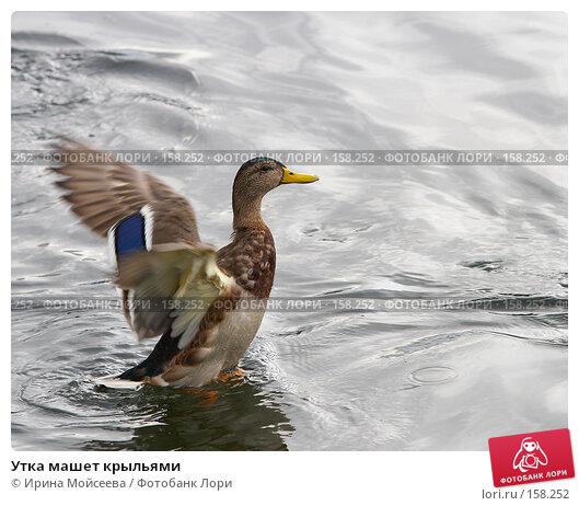 Утка машет крыльями, эксклюзивное фото № 158252, снято 16 сентября 2007 г. (c) Ирина Мойсеева / Фотобанк Лори