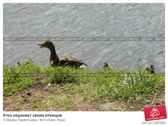 Утка охраняет своих птенцов, эксклюзивное фото № 329664, снято 7 июня 2008 г. (c) Ирина Терентьева / Фотобанк Лори