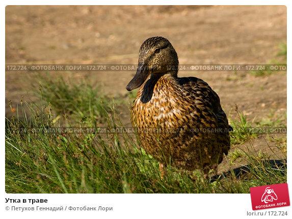 Утка в траве, фото № 172724, снято 15 июля 2007 г. (c) Петухов Геннадий / Фотобанк Лори