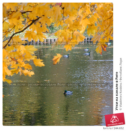 Утки на канале в Риге, фото № 244652, снято 24 октября 2005 г. (c) Vladimirs Koskins / Фотобанк Лори