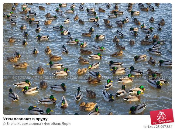 Купить «Утки плавают в пруду», эксклюзивное фото № 25997864, снято 25 января 2017 г. (c) Елена Коромыслова / Фотобанк Лори