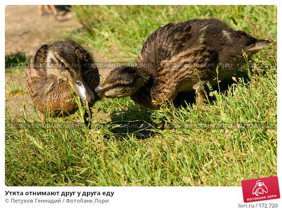 Утята отнимают друг у друга еду, фото № 172720, снято 15 июля 2007 г. (c) Петухов Геннадий / Фотобанк Лори