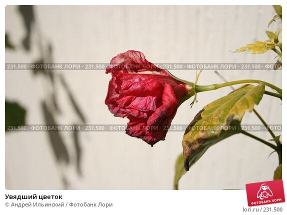 Увядший цветок, фото № 231500, снято 20 февраля 2008 г. (c) Андрей Ильинский / Фотобанк Лори