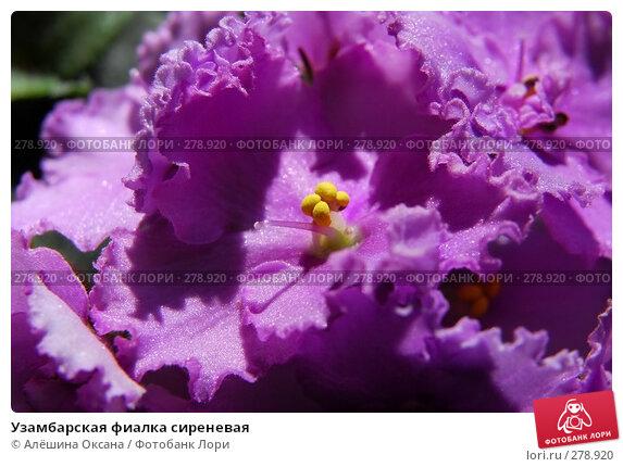 Узамбарская фиалка сиреневая, эксклюзивное фото № 278920, снято 3 мая 2008 г. (c) Алёшина Оксана / Фотобанк Лори