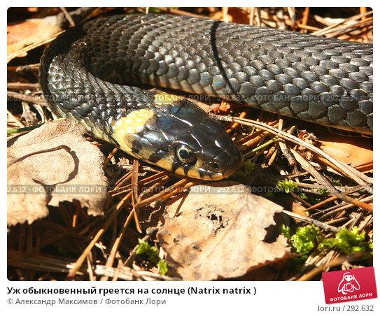 Уж обыкновенный греется на солнце (Natrix natrix ), фото № 292632, снято 2 мая 2003 г. (c) Александр Максимов / Фотобанк Лори