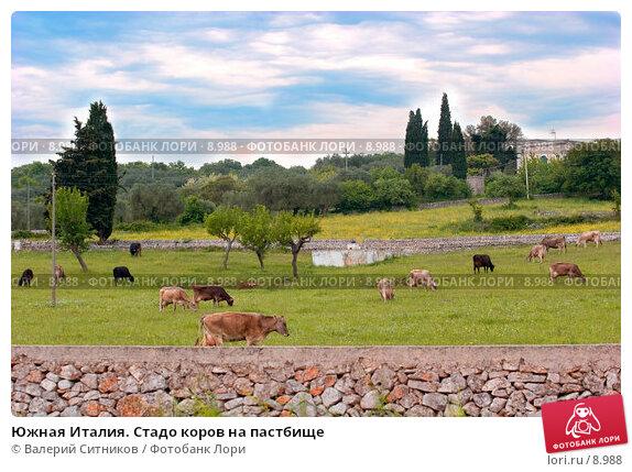 Южная Италия. Стадо коров на пастбище, фото № 8988, снято 11 мая 2005 г. (c) Валерий Ситников / Фотобанк Лори