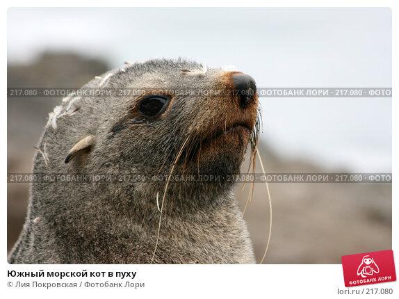 Южный морской кот в пуху, фото № 217080, снято 15 января 2008 г. (c) Лия Покровская / Фотобанк Лори