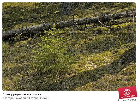 Купить «В лесу родилась ёлочка», фото № 39736, снято 27 апреля 2018 г. (c) Игорь Соколов / Фотобанк Лори