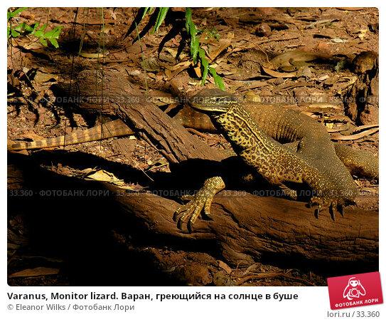 Varanus, Monitor lizard. Варан, греющийся на солнце в буше, фото № 33360, снято 22 июня 2006 г. (c) Eleanor Wilks / Фотобанк Лори