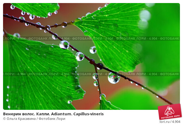 Венерин волос. Капли. Adiantum. Capillus-vineris, фото № 4904, снято 13 июня 2006 г. (c) Ольга Красавина / Фотобанк Лори