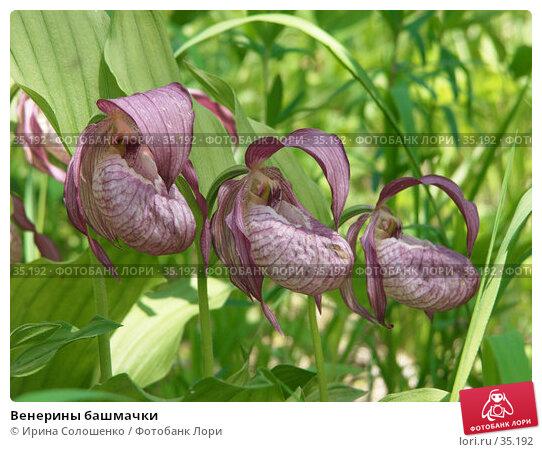 Венерины башмачки, фото № 35192, снято 24 июня 2006 г. (c) Ирина Солошенко / Фотобанк Лори