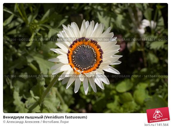 Венидиум пышный (Venidium fastuosum), эксклюзивное фото № 141564, снято 2 августа 2007 г. (c) Александр Алексеев / Фотобанк Лори