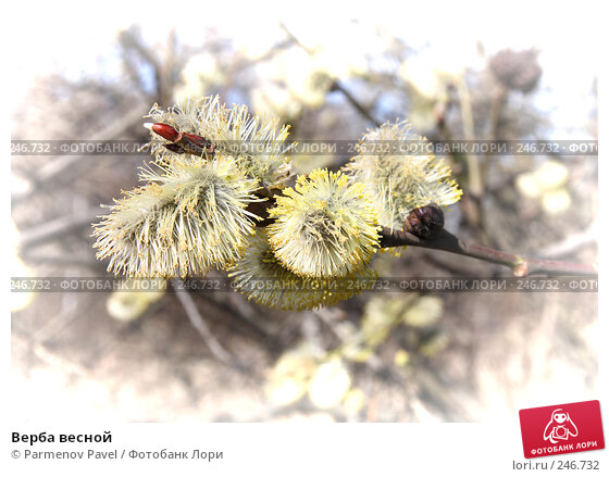 Верба весной, фото № 246732, снято 9 апреля 2008 г. (c) Parmenov Pavel / Фотобанк Лори