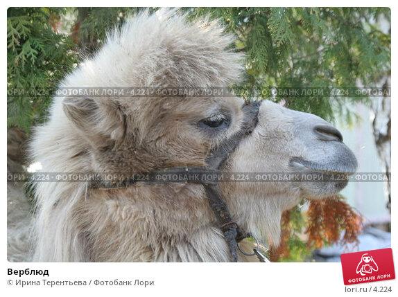 Верблюд, эксклюзивное фото № 4224, снято 1 мая 2006 г. (c) Ирина Терентьева / Фотобанк Лори