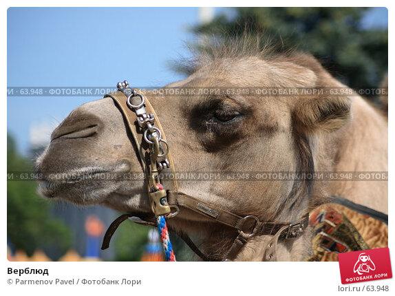 Купить «Верблюд», фото № 63948, снято 12 июня 2007 г. (c) Parmenov Pavel / Фотобанк Лори