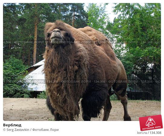 Верблюд, фото № 134308, снято 19 июня 2004 г. (c) Serg Zastavkin / Фотобанк Лори