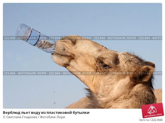Верблюд пьет воду из пластиковой бутылки, фото № 222844, снято 24 февраля 2006 г. (c) Cветлана Гладкова / Фотобанк Лори