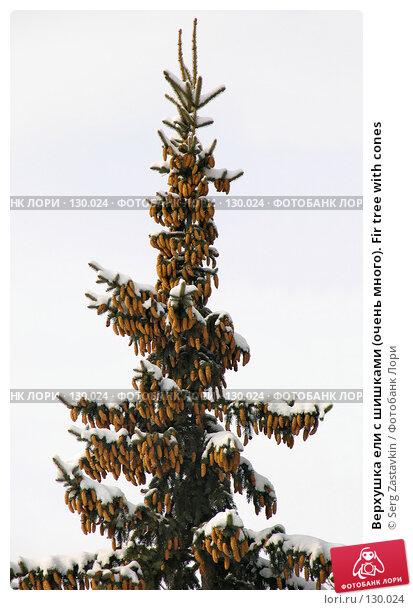 Верхушка ели с шишками (очень много). Fir tree with cones, фото № 130024, снято 23 марта 2005 г. (c) Serg Zastavkin / Фотобанк Лори