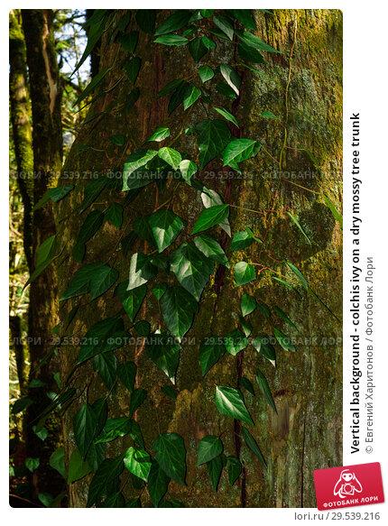 Купить «Vertical background - colchis ivy on a dry mossy tree trunk», фото № 29539216, снято 26 сентября 2017 г. (c) Евгений Харитонов / Фотобанк Лори