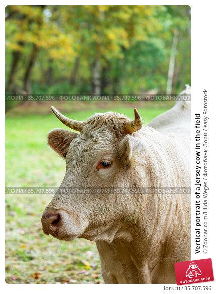 Vertical portrait of a Jersey cow in the field. Стоковое фото, фотограф Zoonar.com/Hilda Weges / easy Fotostock / Фотобанк Лори