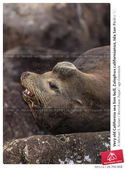 Купить «Very old California sea lion bull, Zalophus californianus, Isla San Pedro Martir, Baja California, Mexico.», фото № 28700868, снято 8 апреля 2016 г. (c) age Fotostock / Фотобанк Лори