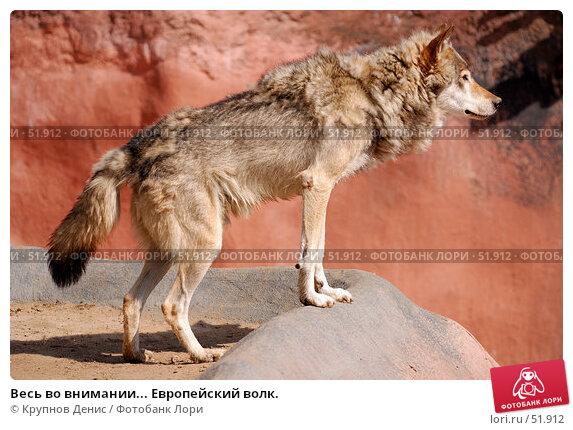 Весь во внимании... Европейский волк., фото № 51912, снято 11 мая 2007 г. (c) Крупнов Денис / Фотобанк Лори