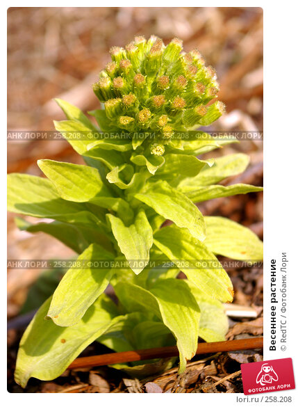 Весеннее растение, фото № 258208, снято 21 апреля 2008 г. (c) RedTC / Фотобанк Лори