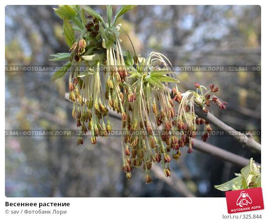 Весеннее растение, фото № 325844, снято 3 мая 2006 г. (c) sav / Фотобанк Лори