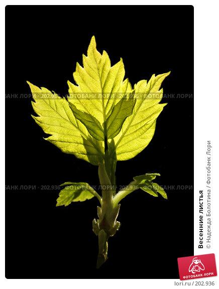 Купить «Весенние листья», фото № 202936, снято 28 апреля 2007 г. (c) Надежда Болотина / Фотобанк Лори