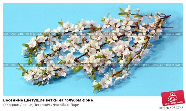 Весенние цветущие ветки на голубом фоне, фото № 261748, снято 24 апреля 2008 г. (c) Коннов Леонид Петрович / Фотобанк Лори