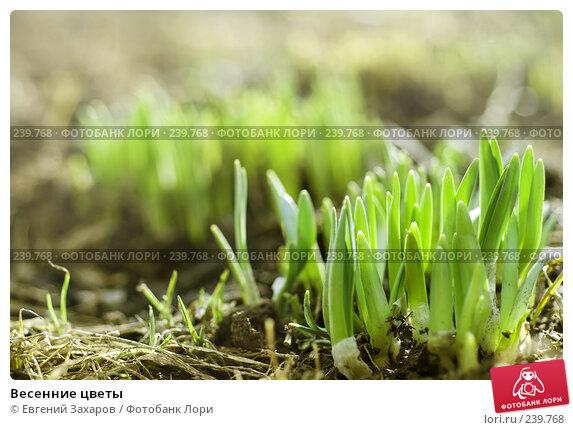 Купить «Весенние цветы», фото № 239768, снято 28 марта 2008 г. (c) Евгений Захаров / Фотобанк Лори