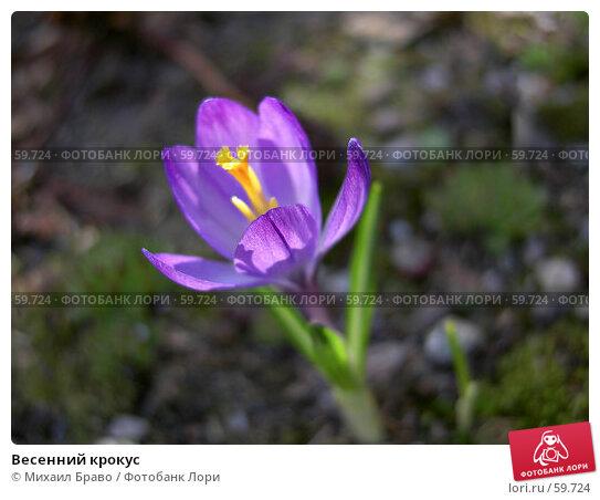 Весенний крокус, фото № 59724, снято 2 мая 2004 г. (c) Михаил Браво / Фотобанк Лори