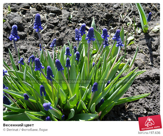Весенний цвет, фото № 97636, снято 9 мая 2005 г. (c) Derinat / Фотобанк Лори