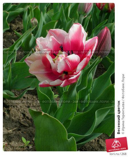 Весенний цветок, эксклюзивное фото № 268, снято 11 мая 2004 г. (c) Ирина Терентьева / Фотобанк Лори