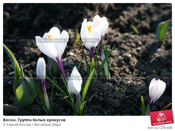 Весна. Группа белых крокусов, фото № 274436, снято 3 мая 2008 г. (c) Сергей Костин / Фотобанк Лори