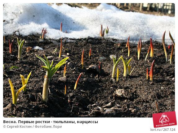 Купить «Весна. Первые ростки - тюльпаны, нарциссы», фото № 267124, снято 26 апреля 2008 г. (c) Сергей Костин / Фотобанк Лори