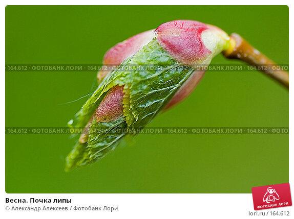 Весна. Почка липы, эксклюзивное фото № 164612, снято 27 мая 2006 г. (c) Александр Алексеев / Фотобанк Лори