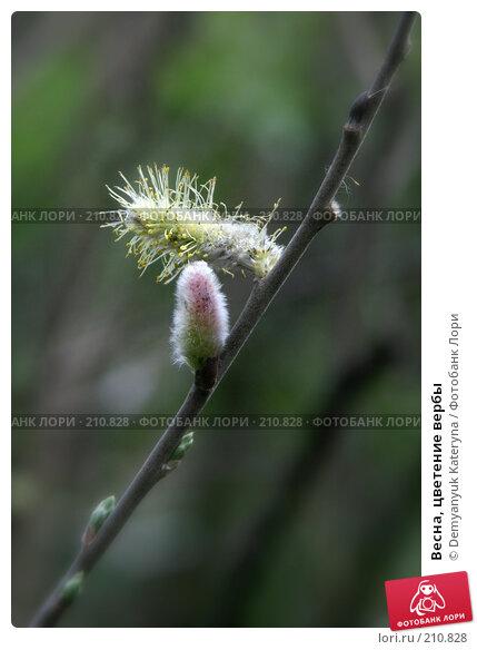 Весна, цветение вербы, фото № 210828, снято 24 марта 2007 г. (c) Demyanyuk Kateryna / Фотобанк Лори