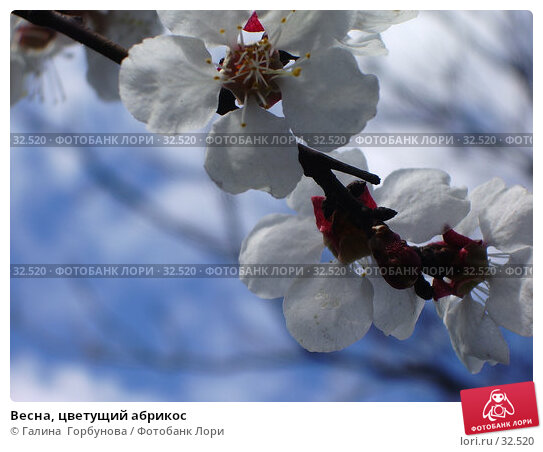 Весна, цветущий абрикос, фото № 32520, снято 11 апреля 2006 г. (c) Галина  Горбунова / Фотобанк Лори