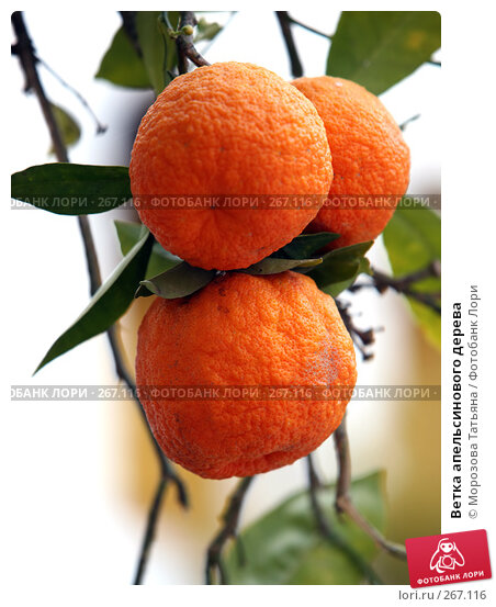 Ветка апельсинового дерева, фото № 267116, снято 16 апреля 2008 г. (c) Морозова Татьяна / Фотобанк Лори