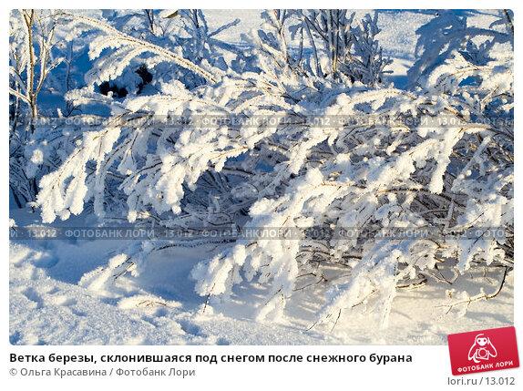 Ветка березы, склонившаяся под снегом после снежного бурана  , фото № 13012, снято 5 ноября 2006 г. (c) Ольга Красавина / Фотобанк Лори
