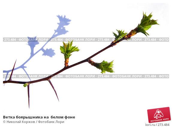 Ветка боярышника на  белом фоне, фото № 273484, снято 3 апреля 2008 г. (c) Николай Коржов / Фотобанк Лори