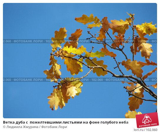 Ветка дуба с  пожелтевшими листьями на фоне голубого неба, фото № 102060, снято 11 декабря 2016 г. (c) Людмила Жмурина / Фотобанк Лори