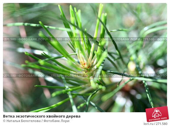 Купить «Ветка экзотического хвойного дерева», фото № 271580, снято 3 мая 2008 г. (c) Наталья Белотелова / Фотобанк Лори