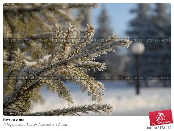 Купить «Ветка ели», фото № 172112, снято 9 января 2008 г. (c) Мударисов Вадим / Фотобанк Лори