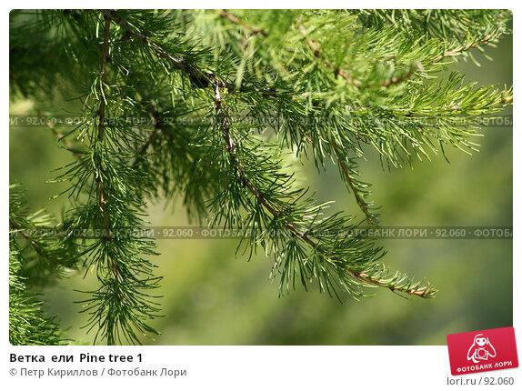 Ветка  ели  Pine tree 1, фото № 92060, снято 26 августа 2007 г. (c) Петр Кириллов / Фотобанк Лори