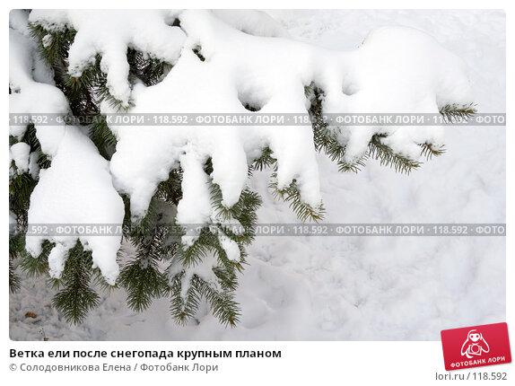 Ветка ели после снегопада крупным планом, фото № 118592, снято 14 ноября 2007 г. (c) Солодовникова Елена / Фотобанк Лори