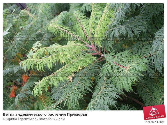Ветка эндемического растения Приморья, эксклюзивное фото № 1404, снято 18 сентября 2005 г. (c) Ирина Терентьева / Фотобанк Лори