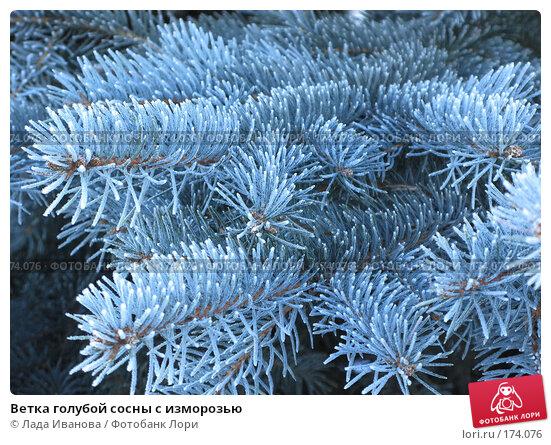 Купить «Ветка голубой сосны с изморозью», фото № 174076, снято 4 января 2008 г. (c) Лада Иванова / Фотобанк Лори