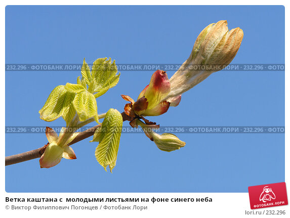 Ветка каштана с  молодыми листьями на фоне синего неба, фото № 232296, снято 6 апреля 2006 г. (c) Виктор Филиппович Погонцев / Фотобанк Лори